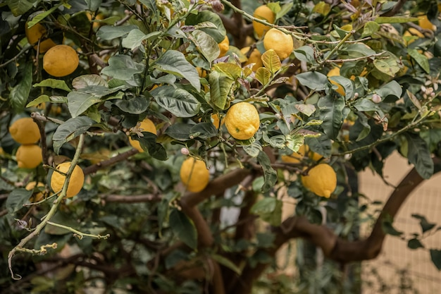 Ripe lemon fruits among green leaves on the tree in citrus orchard