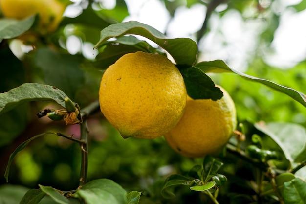 Спелый лимон, растущий на дереве крупным планом, два лимона на дереве, органические фрукты, цитрусовые, в саду ...