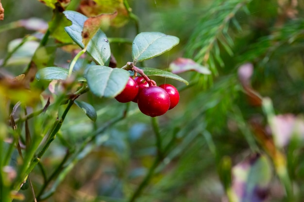 Ripe lingonberries vacc nium v tis-ida a hang from branches in the wild forest. red ripe lingonberries in autumn.
