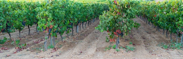 Ripe, lush bunches of grape on the vine