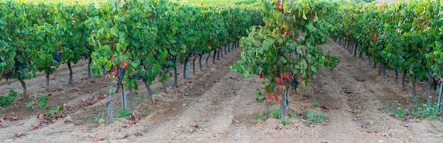 Спелые, пышные грозди винограда на лозе
