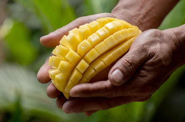 Ripe mango fruits in hands on nature .