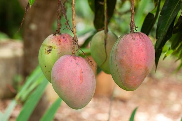 木の上の熟したマンゴーの果実