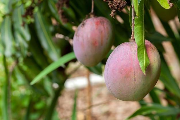 Ripe mango fruits on tree