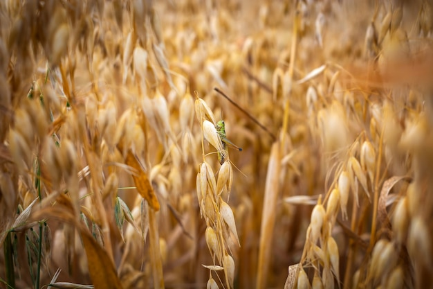 Ripe oats in the field against the sky
