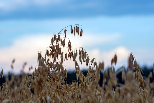 Ripe oats in a field at sunset