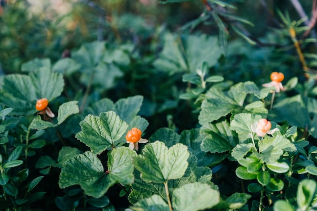 Ripe orange cloudberry in green leaves in the forest