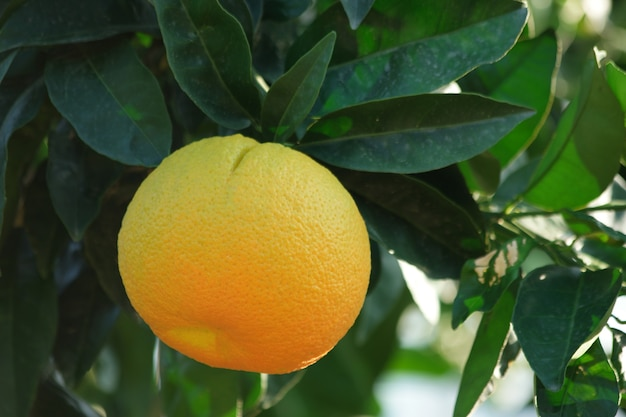 Ripe orange fruit growing on tree.