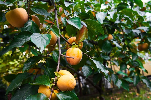 녹색 잎을 가진 감 나무 가지에 익은 오렌지 감. 가을 수확 시즌