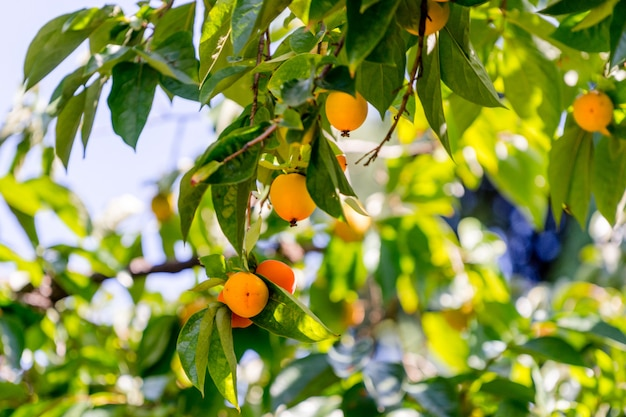Ripe orange persimmons on the tree. bright combination of the fruits and fresh green leave