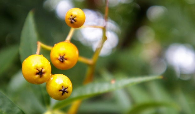 잘 익은 오렌지 로완 열매는 흐린 배경에 클로즈업되어 산 화산재의 가지에서 그룹으로 자랍니다. 복사 공간이 있는 고품질 사진.