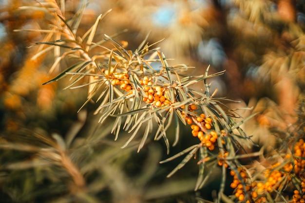 熟したオレンジ色の海クロウメモドキの果実は木の枝に生えています