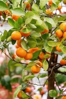 Спелые оранжевые мандариновые плоды, растущие на дереве