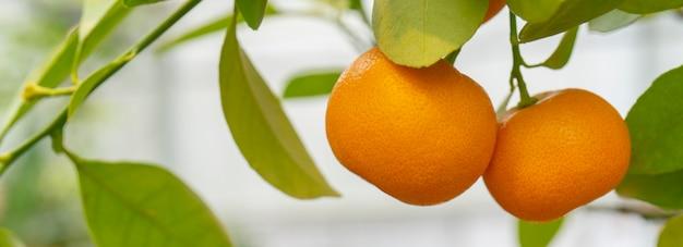 Ripe orange tangerines on a branch.