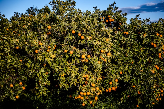 Ripe oranges grown in a mediterranean orchard in the sun growing healthy from a valencian orange tree in summer.