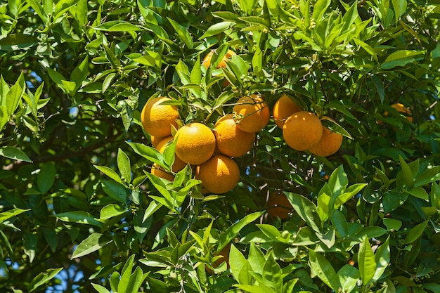 Ripe oranges hanging on tree branches