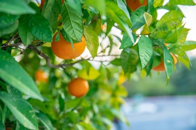 Спелые апельсины на дереве в южной части испании