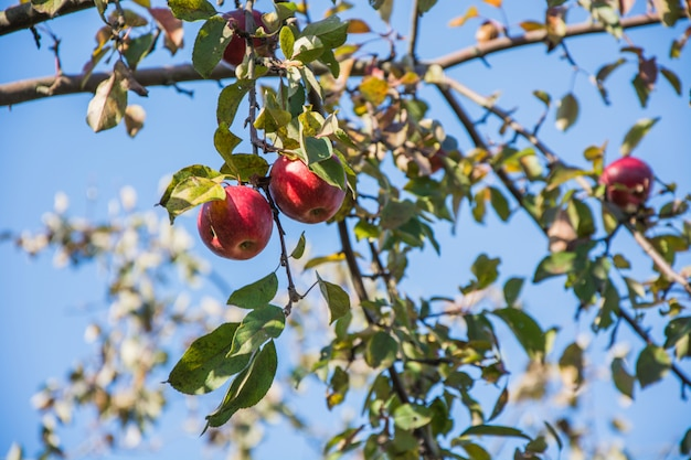 Ripe organic apple on three,