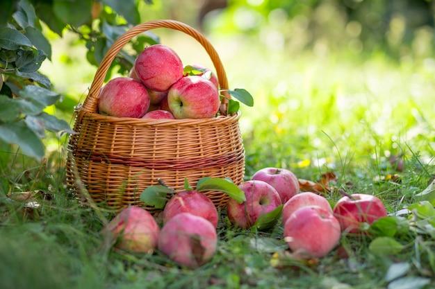 Ripe organic fruit in garden