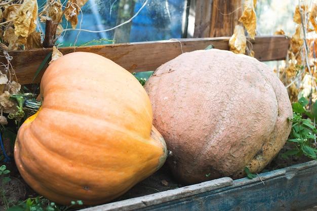 Ripe organic pumpkins