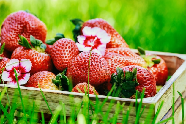 Ripe organic strawberries in a box on the green grass.