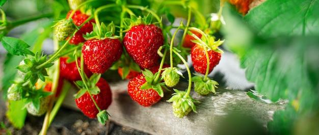 정원에서 익은 유기농 딸기 부시를 닫습니다. 천연 딸기 재배