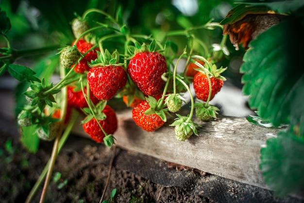Куст спелой органической клубники в саду заделывают. выращивание урожая натуральной клубники
