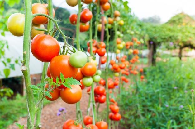収穫の準備ができて、新鮮なトマトの庭で熟した有機トマト