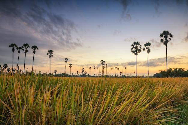 태국 빠툼타니에 있는 동탄 삼 콕에서 일출 전에 익은 논 쌀과 흐릿한 야자수 농장. 수확 시 따뜻한 나라의 농업 식품 산업.