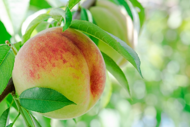 Ripe peaches on a branch in orchard