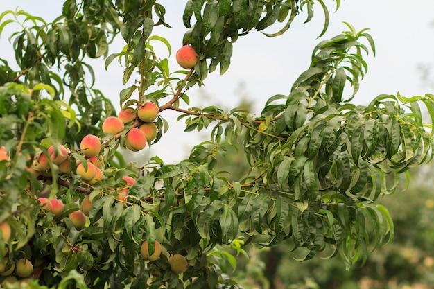 Спелые персики, висящие на дереве в саду. фокусы на персиках. здоровая и натуральная еда.