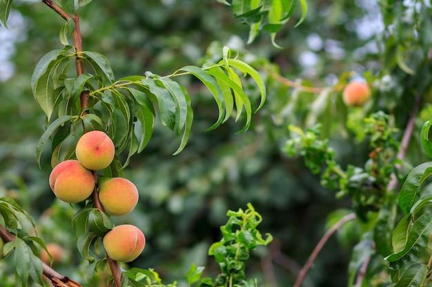 Спелые персики, висящие на дереве в саду. здоровая и натуральная еда.