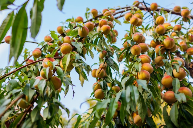 Ripe peaches hanging on tree in autumn orchard