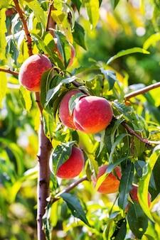 晴れた日に木に熟した桃