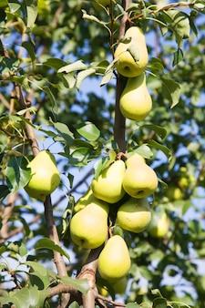 Pere mature sul ramo