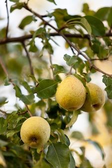 枝に熟した梨。垂直フレーム