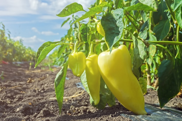 Ripe pepper on the field at harvest time