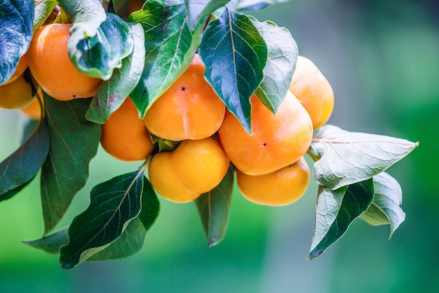 Ripe persimmons fruit hanging on  persimmon branch tree