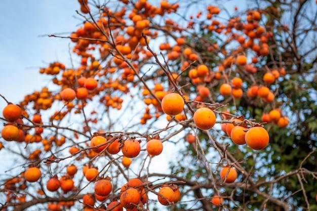 Спелая хурма на дереве зимой