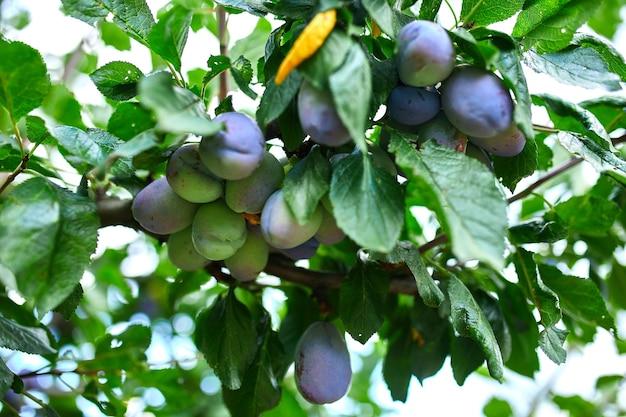 木、梅の枝、庭の緑の葉と新鮮な有機果物の熟した梅の実、収穫期。