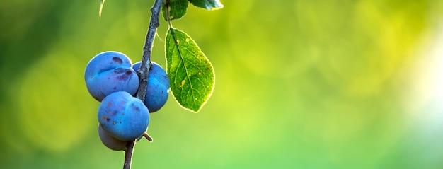 Спелые плоды сливы на деревьях. на зеленом фоне расфокусированным. крупный план. выборочный фокус.