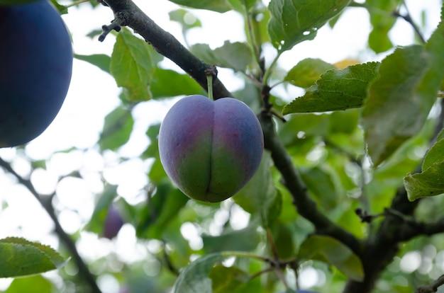 木の枝のクローズアップで熟したプラム
