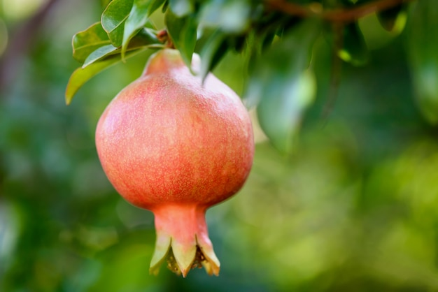 Ripe pomegranate on the branch. the foliage.