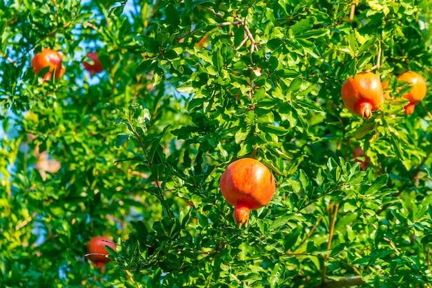 나뭇가지에 익은 석류 열매. 자연, 음식