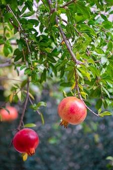 나뭇가지에 익은 석류 열매