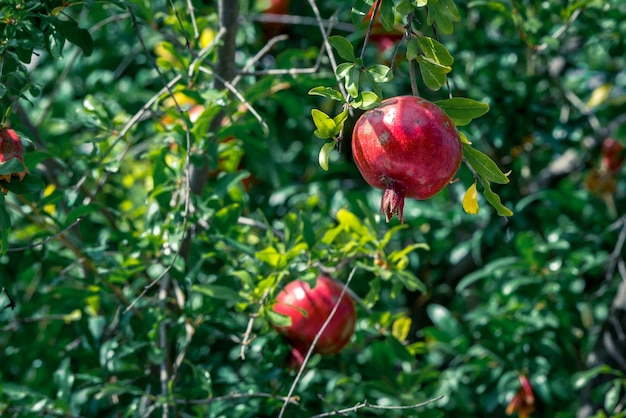 Ripe pomegranate fruit on tree branch, selective focus.