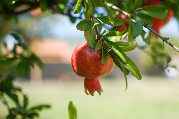 Ripe pomegranate fruits hanging on a tree branch