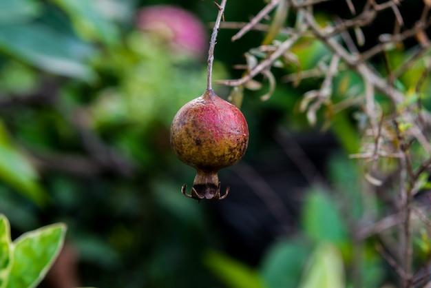 Ripe pomegranate hangs on the tree