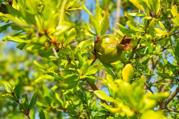Спелый гранат на дереве