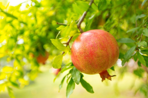 Ripe pomegranate on the tree